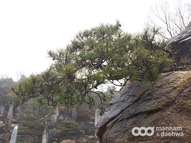 月明洞松樹